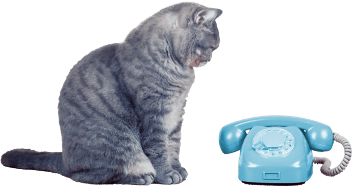 Gray Cat looking at a blue telephone